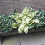 Hostas in unusual old pig trough planter - 2012.