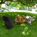 Chickens are not deterred by visitors to this garden - 2015.