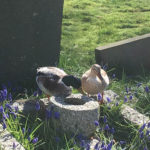 Ducks from neighbouring village pond enjoying a stroll in the cemetery - March 2017.