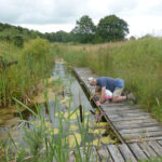 Pond dipping off one of the boardwalks in the Claypits.