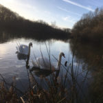 Swans in Rixton Claypits - January 2019.