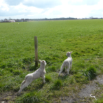 Lambs frolicking in the fields on Glazebrook Lane May 2015.