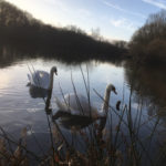 Swans on one of the ponds at Rixton Claypits Nature Reserve - January 2019.